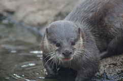 Surprised Face of a River Otter in Shallow Water Stock Images