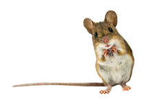 Surprised Field Mouse with clipping path. Geeky Wood mouse (Apodemus sylvaticus) with curious cute brown eyes looking in the camera on white background
