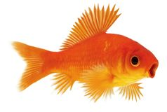 Surprised fish. Goldfish with fins. Processing by Photoshop. Yellow and red colors. Image in JPG and PSD formats stock photo