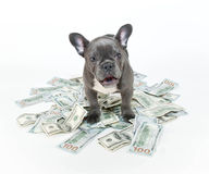 Surprised French Bulldog Royalty Free Stock Photography