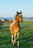 Surprised and funny horse in the nature reserve of Lake Baikal Stock Photography