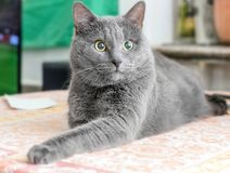 Surprised gray cat. Pretty adult surprised gray cat in room on table Royalty Free Stock Photography