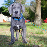 Surprised Great Dane Royalty Free Stock Photo