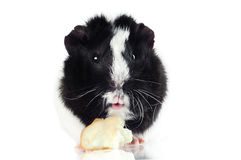 Surprised Guinea pig with an apple piece Stock Image