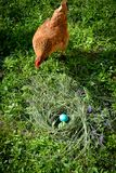 Surprised hen with the Easter eggs Stock Photography