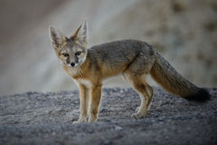 Surprised kit fox. Closeup of a Kit fox looks surprised into the camera as he has his picture taken in Death Valley national park Stock Photos