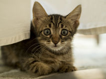 Surprised Kitten. Under a table cloth looking for food Royalty Free Stock Photo