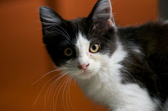 Surprised kitten Royalty Free Stock Image