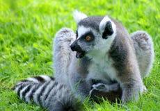Surprised lemur Stock Photo