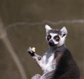Surprised Lemur. A lemur looking surprised or upset Stock Photo