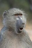 Surprised looking baboon stock photography