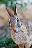 Surprised looking cottontail bunny rabbit Royalty Free Stock Image