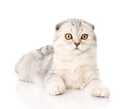 Surprised lop-eared scottish cat looking at camera. isolated Royalty Free Stock Photography