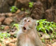 Surprised Macaque  (Macaca fascicularis) Royalty Free Stock Images