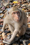 Surprised macaque monkey. Close-up of a very surprised macaque monkey looking at the camera royalty free stock images