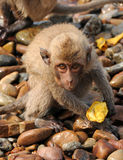 Surprised macaque monkey. Close-up of a very surprised macaque monkey looking at the camera stock photo
