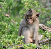 Surprised macaque monkey Stock Images