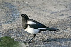 Surprised magpie. Surprised magpie, standing in an oil pool Stock Photography