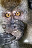 Surprised monkey expression Royalty Free Stock Images