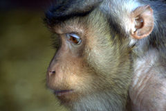 Surprised monkey portrait. A long tailed macaque primate looking surprised royalty free stock photo