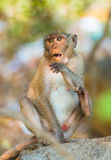 Surprised monkey sitting on stone with open mouth. Monkey sitting on stone looks forward with open mouth stock photo