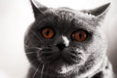 Surprised muzzle of gray British cat Royalty Free Stock Image