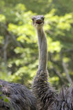 Surprised Ostrich Portrait. Humorous portrait of an Ostrich with it's mouth open Royalty Free Stock Photo