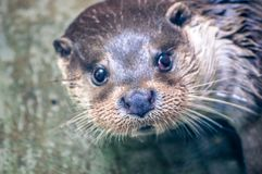 Otter, swimming in the river at the zoological park and looking at something stock image