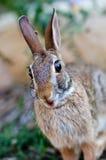 Surprised que mira el conejo de conejito del conejo de rabo blanco Imagen de archivo libre de regalías