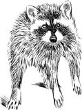 Surprised raccoon Royalty Free Stock Images