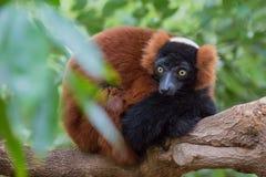 Surprised red ruffed lemur Stock Image