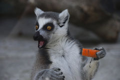 Surprised ring-tailed lemur with carrot Stock Image