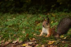Surprised russian squirrel at moscow park stock photo
