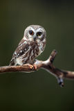 Surprised Saw-Whet Owl Royalty Free Stock Photography