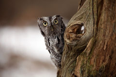 Surprised Screech Owl. Closeup of a surprised Eastern Screech Owl peering around an old tree trunk Royalty Free Stock Images