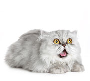 Surprised Siberian cat Royalty Free Stock Images