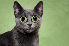Surprised silver cat. Silver cat with big wide eyes Stock Image