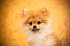 Surprised Spitz puppy dog looking into the camera. Royalty Free Stock Photography