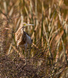 A surprised Squacco Heron Stock Image