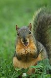 Surprised Squirrel Royalty Free Stock Image