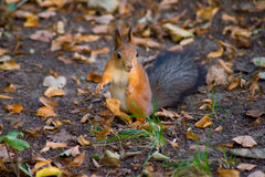 Surprised squirrel. Red squirrel sitting on the ground outstretched paws apart and  to listen to something Stock Image