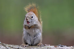 Surprised Squirrel Stock Image