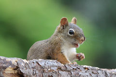 Surprised Squirrel Stock Photography