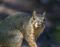 A surprised squirrel looking at the camera. A squirrel, rooting for food is surprised by the camera and having his photo taken stock image
