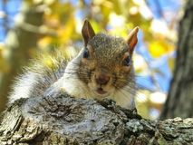 Surprised Squirrel Looking Down From A Tree. Cute tree squirrel looking surprised as he looks down from a tree royalty free stock photos