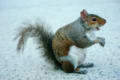 A surprised squirrel Royalty Free Stock Photos