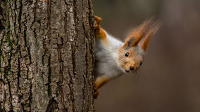 Surprised squirrel. Peeking from behind a tree Royalty Free Stock Photos
