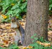 Surprised squirrel standing next to tree in Central Park, NYC royalty free stock image