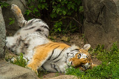 Surprised tiger Royalty Free Stock Photos