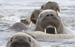 A surprised walrus face. A surprised walrus in a group of curious walruses Stock Images